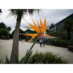 Orange Bird of Paradise Flower Seeds (Strelitzia reginae)  - 5