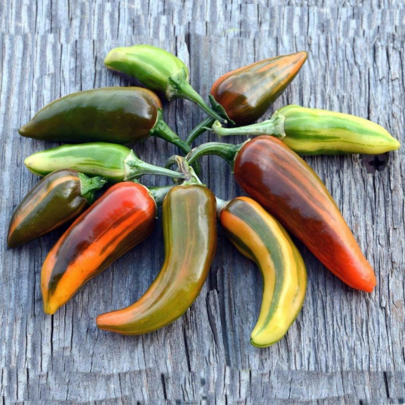 FISH Hot Chilli Pepper Seeds Seeds Gallery - 6