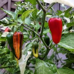 FISH Chili – Cili Seme – Ljut i Predivan Seeds Gallery - 3
