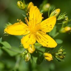 Σπόροι βάλσαμο (Hypericum perforatum)  - 3