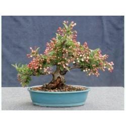 Japanska Jabuka seme bonsai