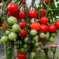 Semi di pomodoro GERANIUM KISS Seeds Gallery - 4