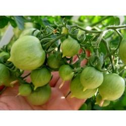 GERANIUM KISS Tomatensamen Seeds Gallery - 2