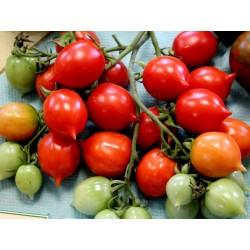 Sementes de Tomate GERANIUM KISS Seeds Gallery - 3