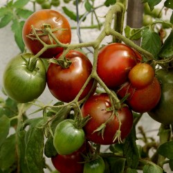 Sementes de tomate Black Prince  - 3
