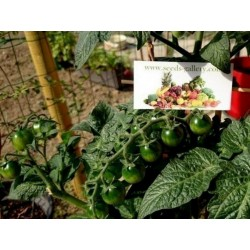 CANDYTOM Cherry Tomato Seeds Seeds Gallery - 2