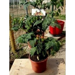 CANDYTOM Tomatensamen - Ideal für wohnung Seeds Gallery - 4