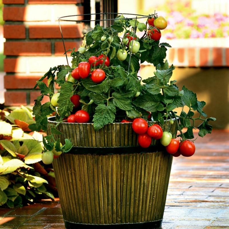 Sementes de tomate CANDYTOM Seeds Gallery - 6