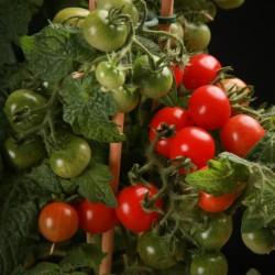 CANDYTOM Tomatensamen - Ideal für wohnung Seeds Gallery - 5