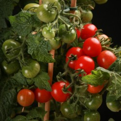 Sementes de tomate CANDYTOM Seeds Gallery - 5