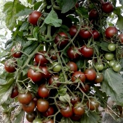 Black Cherry Tomato Seeds Seeds Gallery - 3