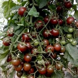 Sementes de tomate Cereja Preta Seeds Gallery - 3