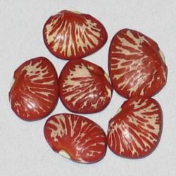 Graine de Haricot Lima Zèbre (Phaseolus lunatus)  - 4