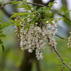 White Wisteria Seeds (Robinia pseudoacacia)  - 3