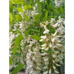 Semi di Robinia o Acacia (Robinia pseudoacacia)  - 4