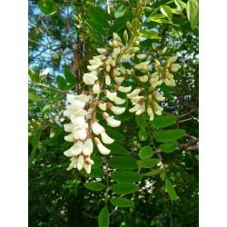 Semi di Robinia o Acacia (Robinia pseudoacacia)  - 5