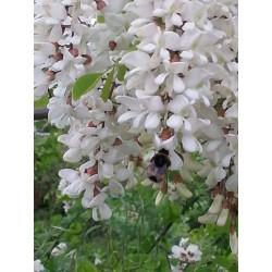 Seme Bagrema (lat. Robinia pseudoacacia)  - 6