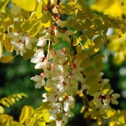 White Wisteria Seeds (Robinia pseudoacacia)  - 7
