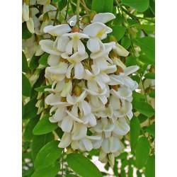 White Wisteria Seeds (Robinia pseudoacacia)  - 8