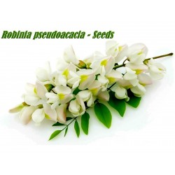 White Wisteria Seeds (Robinia pseudoacacia)  - 9