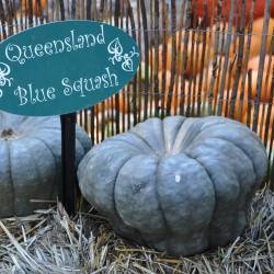 Sementes Abóbora 'Queensland Blue' Seeds Gallery - 4
