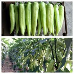 Semi di peperoncino DZINKA serba varietà  - 1