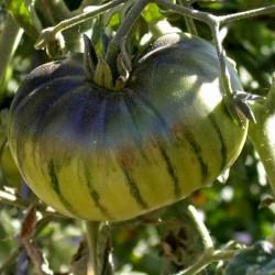 Seme ruskog paradajza ARBUZNYI (Lubenica) Seeds Gallery - 3