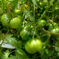 ARBUZNYI (καρπούζι) Σπόροι ντομάτας Seeds Gallery - 4