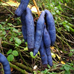 Blue Sausage Seeds Fruit Shrub Decaisnea fargesii  - 3