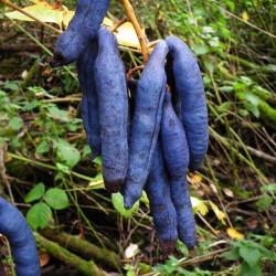 Sementes De Banana Azul (Decaisnea Fargesii)  - 3