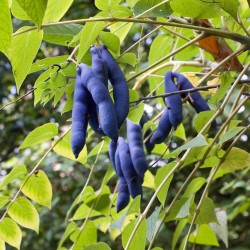 Blue Sausage Seeds Fruit Shrub Decaisnea fargesii  - 4
