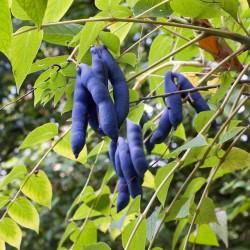 Blue Sausage Seeds Fruit Shrub Decaisnea fargesii  - 4