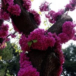 Judino Drvo Seme (Cercis siliquastrum) Seeds Gallery - 1