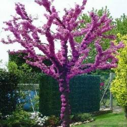 Judino Drvo Seme (Cercis siliquastrum) Seeds Gallery - 4
