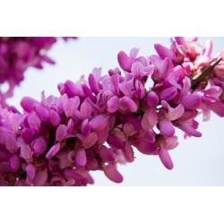 Sementes de Olaia ou Arvore-de-judas (Cercis siliquastrum) Seeds Gallery - 3