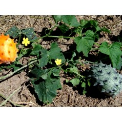 Kiwano Samen Horngurke (Cucumis metuliferus) Seeds Gallery - 2