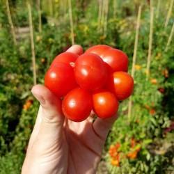 Voyage Paradajz Seme - paradajz putnika Seeds Gallery - 5