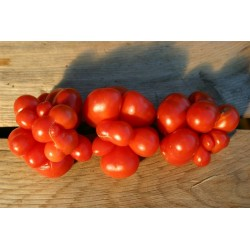 VOYAGE Tomato Seeds - Heirloom Variety Seeds Gallery - 6