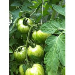Sementes de tomate Zebra verde (Green Zebra) Seeds Gallery - 4
