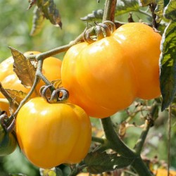 Yellow Stuffer Tomato Seeds  - 3