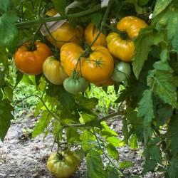 Semi di pomodoro Cuor Di Bue Arancione Seeds Gallery - 2