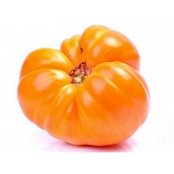 Seme paradajza Narandzasto Volovsko Srce Seeds Gallery - 3