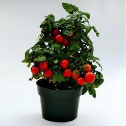 Balkonzauber tomatfrön  - 3