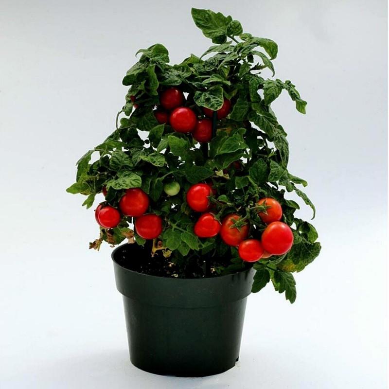 Balkonzauber Tomato Seeds (Balcony Charm)  - 3