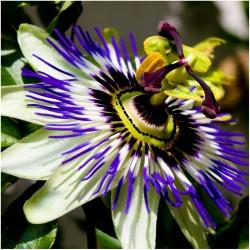 Sementes De Passiflora Caerulea - Maracuja Azul  - 1