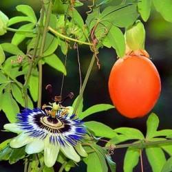 Hristov Venac Seme - Passiflora caerulea  - 2