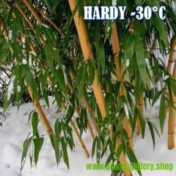 Madake Jätte Bambu Fröer (Phyllostachys bambusoides)  - 3