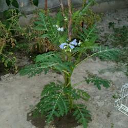 Sementes de Tomate Lichia (Solanum sisymbriifolium) Seeds Gallery - 8