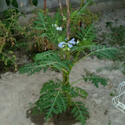Semi di Pomodoro del Litchi (Solanum sisymbriifolium) Seeds Gallery - 8