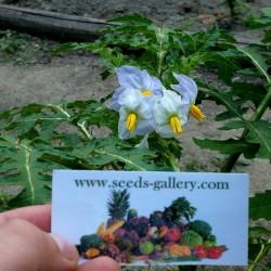 Graines de Morelle de Balbis (Solanum sisymbriifolium) Seeds Gallery - 9